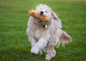 Off-white Cream-colored Long Haired Goldendoodle Running with Toy