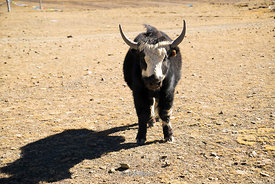 A young yak in Nadang Tibet near Shigatse.
