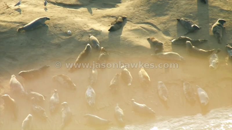 Aerial footage of seals on sandbank