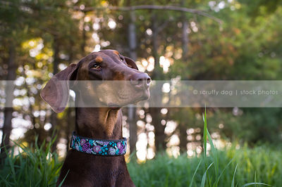 curious brown and tan doberman dog tilting head in natural setting
