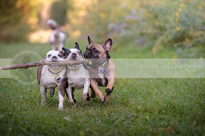 humorous stock photo of three small dogs running together with big stick