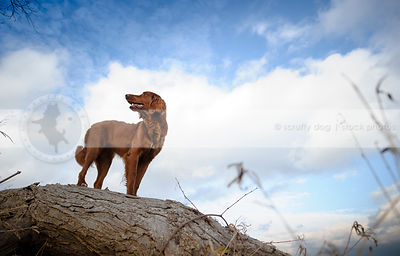 red mixed breed dog perched on log looking away with sky