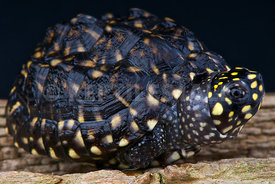 Geoclemys hamiltonii, Spotted pond turtle, Ganges river, India