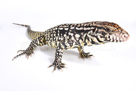 Argentine black and white tegu, Salvator merianae