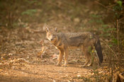 Golden jackal (Canis aureus), Harenna Forest, Bale Mountains National Park, Ethiopia