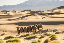 Caravan of Bactrian camels in the South Gobi Desert, Mongolia. In the Khongoryn Els sand dunes in Gobi Gurvansaikhan National Park