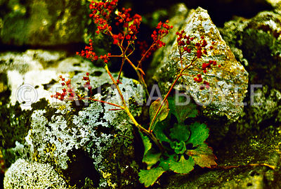 Saxifraga tilingiana, Saxifragaceae, endemic species, in its native habitat; Pribrezhnyi Mountain Range, Russian Federation | Color reversal film