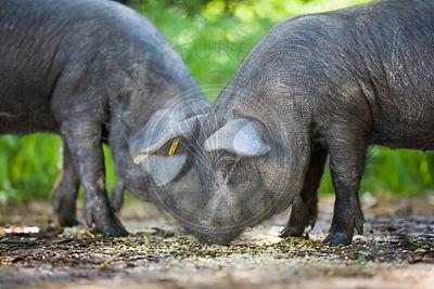 Two young Mallorcan black pigs eating in a field on a farm.
