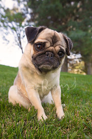 Pug dog looking at camera with cute expression
