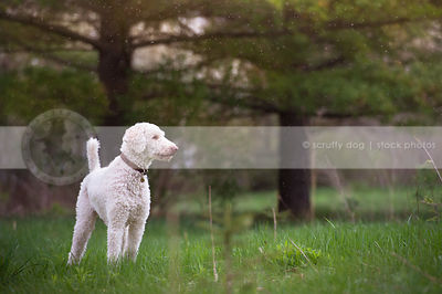proud white standard poodle dog standing in meadow with trees