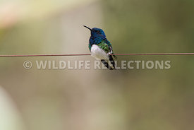 white_necked_jacobin_wire-2