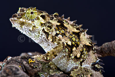 Spiny-flanked Chameleon (Trioceros laterispinis) photos