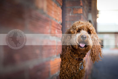 happy shaggy red dog peeking from doorway in urban alley