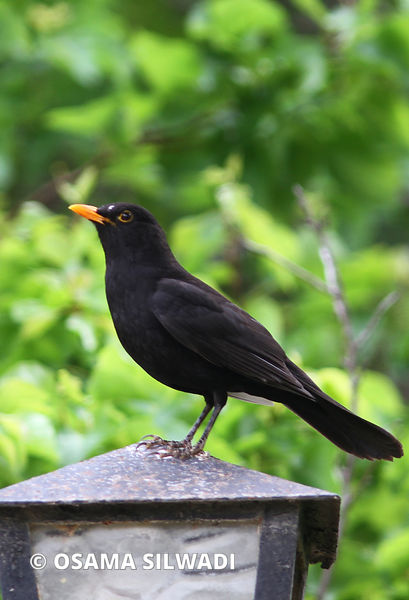 blackbird photos
