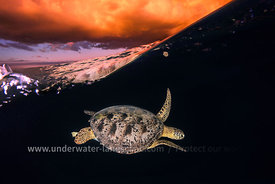 Tortue verte et golden Hour - Tortue marine