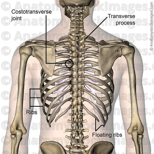 Floating ribs anatomy
