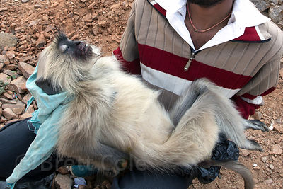 A man holds a langur monkey that was killed while crossing power lines in Pushkar, Rajasthan, India. Electrocution is an issue for primates living near people around the world.