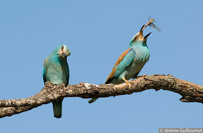 The European Roller - Coracias garrulus photos