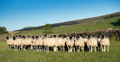Newly weaned swaledale lambs in pasture in Wensleydale, North Yorkshire, UK.