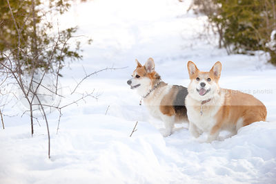 two short corgi dogs waiting in winter snow setting