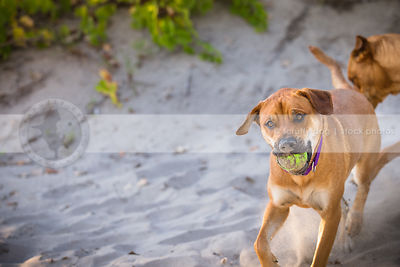 mixed breed red dog fetching ball running in sand dunes