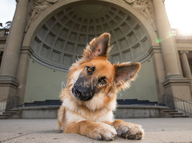 German Shepherd Mix Dog Tilting Head in Front of Coffered Domed Bandshell
