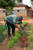 Farmer working soil in garden where he is growing crops. Rwanda