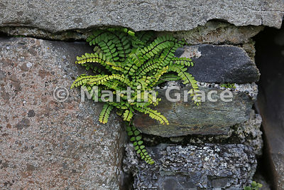 Maidenhair Spleenwort (Asplenium trichomanes), growing in the stonework of the ruined medieval Iona nunnery, Isle of Iona, Inner Hebrides, Scotland