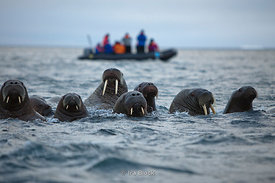 Atlantic walrus and people from the National Geographic Explorer taking a zodiac cruise near the Island of Storoya, Scalbard, Norway.