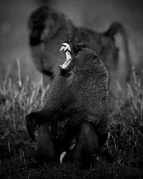 55-Cry_of_baboon_Kenya_2006_Laurent_Baheux