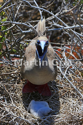 Red-Footed Booby (Sula sula websteri), panting with the heat, shades her single chick from the sun, Punta Pitt, San Cristobal, Galapagos