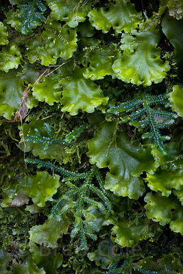 Detail of liverworts and moss on a rock in secondary forest, Las Nubes, Costa Rica