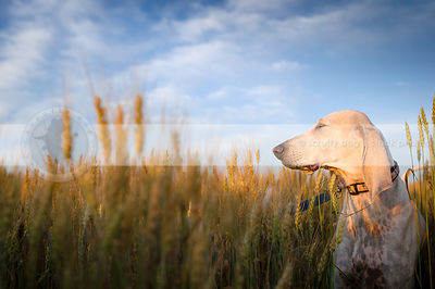 speckled white hound squinting standing in wheat under blue sky