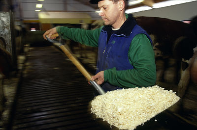 Sweden - Stockholm - A dairy worker attends to his cows