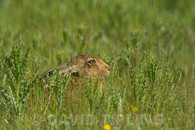 Brown Hare Lepus europaeus in meadow in summer North Norfolk