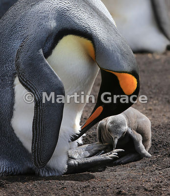 King Penguin (Aptenodytes patagonicus) takes the opportunity to preen itself while its chick is not being brooded, Volunteer Point, East Falkland, Falkland Islands
