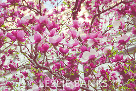 Pink Magnolias in Washington DC