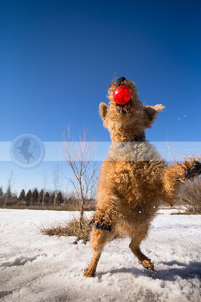 curly coated dog catching red ball in snow under blue sky