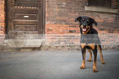 happy dog smiling standing at urban brick wall with wood door