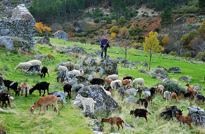 A shepherd with his herd in the glacier valley of the Zêzere river. Serra da Estrela Nature Park, Portugal