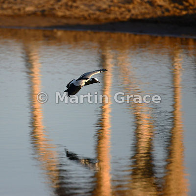 Blacksmith Plover or Blacksmith Lapwing (Vanellus armatus) in flight over water against the reflection of a giraffe's legs, Etosha, Namibia