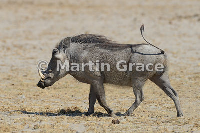Savanna Warthog (Phacochoerus africanus) walking with its tail up, Etosha National Park, Namibia
