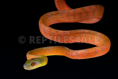 Red cat snake / Boiga nigriceps photos