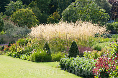 A flame of Stipa gigantea 'Gold Fontaene' in one of the main borders. RHS Garden Harlow Carr, Harrogate, North Yorkshire, UK