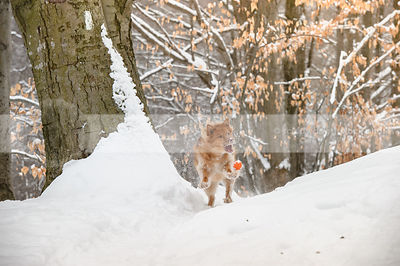 crazy fun red dog playing with ball on winter trail