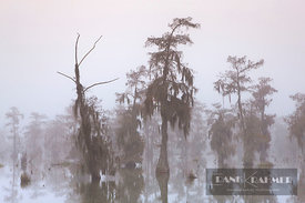 Bald cypress (taxodium distichum) in fog - North America, USA, Louisiana, St. Martin, Lake Martin - digital