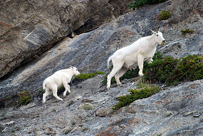 Mama and baby mountain goats making their way up a slope near North Molar Pass, Banff NP, Canadian Rockies.