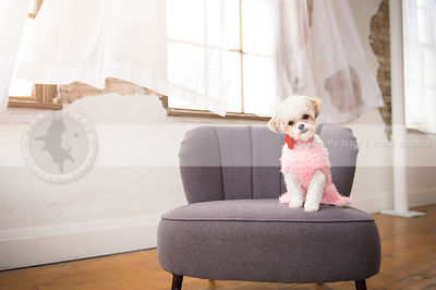 curious small white dog in sweater tilting head on studio chair indoors