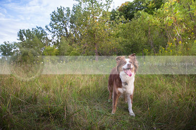 alert red and white dog panting standing in field clearing