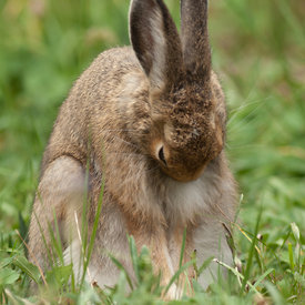 Snowshoe Hare wildlife photos